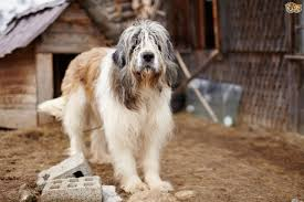 belgian shepherd gumtree caucasian shepherd dog dog breed information buying advice