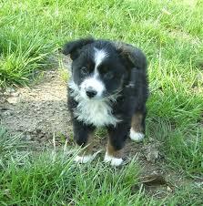 cost of australian shepherd mini aussie past puppies