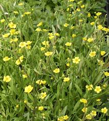 native uk pond plants ranunculus water buttercups lilies water gardens
