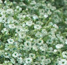 Baby Breath Flowers Buy Bulk White Filler Babys Breath Flower