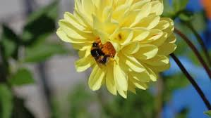 Flowers Bees Pollinate - close up of bee on the daisy flower a bee collects nectar in the