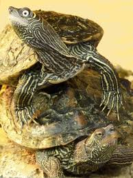 map turtle mississippi map turtle