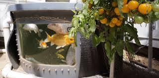 energy efficient aquaponics greenhouses ceres greenhouse