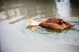 ducks for sale ornamental duck breeder uk duck breeders