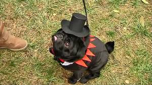 halloween fashion competition for ukraine u0027s pampered pugs video