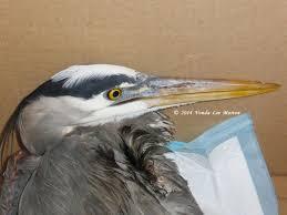 heron meaning ranting and raving u2026again u2026 laurens wildlife rescue
