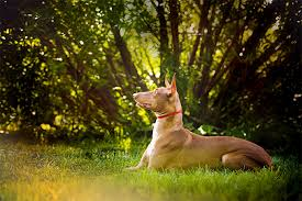belgian sheepdog dogtime pharaoh hound dog breed information pictures characteristics
