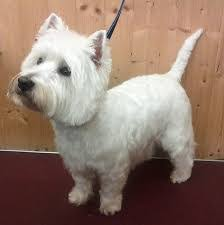 images of westie hair cuts image result for westie hair cuts westies pinterest westies