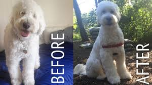 Dog Grooming Styles Haircuts Decker Gets A Haircut Goldendoodle At Home Puppy Cut Tutorial