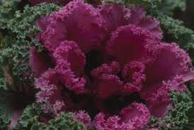 do flowering kale cabbage seeds home guides sf gate