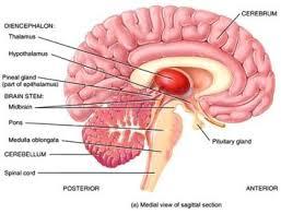 Human Anatomy Flashcards A U0026p Brain Flashcards Human Anatomy U0026 Physiology With Baumler At