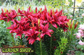 Lily Bulbs Learn How To Grow Asiatic Lily Bulbs From Ireland U0027s Online Garden Shop