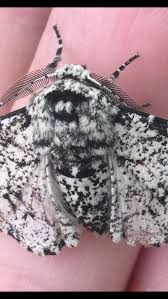 best 25 peppered moth ideas on pinterest moth species moth and