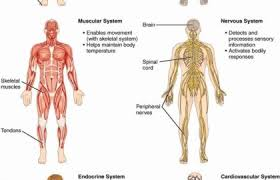 Human Anatomy And Physiology Review Human Anatomy Guide