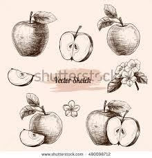 vector apples hand drawn sketch flowers stock vector 490098712