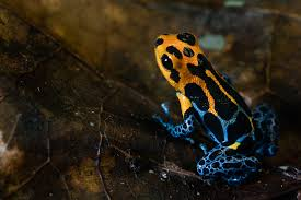 new poison frog species evolving before our eyes study says