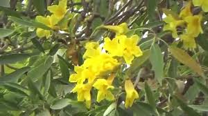 tree and flowers of tababuia argentea or yellow tabebuia golden