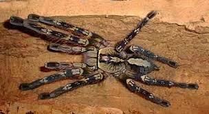 fringed ornamental tarantula poecilotheria ornata 타란튤라
