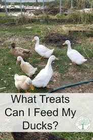 what should you feed ducks and what to stay away from
