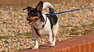 belgian shepherd x staffy which breed dog is best