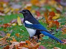 imagenes del animal urraca urraca pica pica aves naturegate