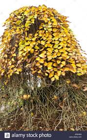 20 best 1 fall color images on pinterest shrubs shrub and