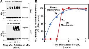three pools of plasma membrane cholesterol and their relation to