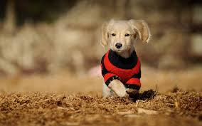 thanksgiving wallpapers for desktop dachshund thanksgiving wallpaper u2013 merry dog life photo blog