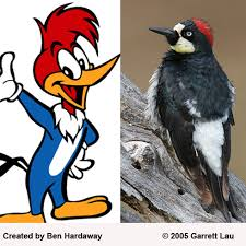 acorn woodpecker birdnote