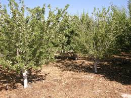 xtremehorticulture of the desert desert fruit trees evaluated
