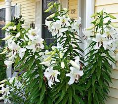 casablanca lilies front yard landscaping plants casablanca lilies casablanca