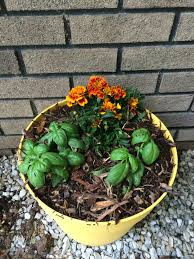 plants that keep mosquitoes away the mosquito repelling plant arrangement simple hobby homesteading