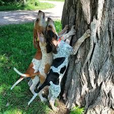 bluetick coonhound treeing ukc forums wolfe creek rollen rock grand pups