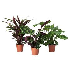 calathea potted plant calathea assorted 19 cm plants