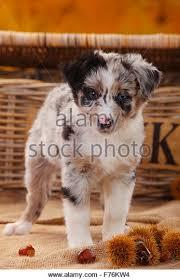 australian shepherd welpen 5 wochen mini aussies stock photos u0026 mini aussies stock images alamy
