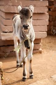 indian cow baby calf sitting in village stock photo picture and