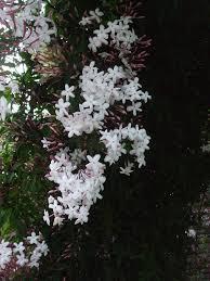 jasmine plant care u2013 how to grow jasmine vines jasmine plant