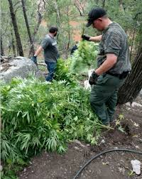 hemp crops may be grown by navajo nation native americans officials bust 2 9m pot grow operation arizona wmicentral com