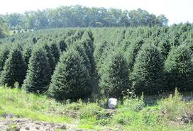 high country christmas trees specilizes in the growing and sale
