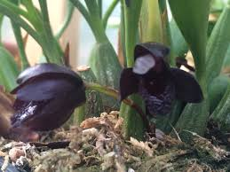 black orchid flower black orchid flowers black maxillaria schunkeana orchid tips to