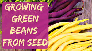 how to grow green beans from seed planting my bush beans in cups