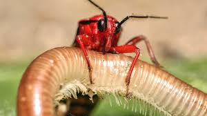 assassin bug hunting a millipede youtube