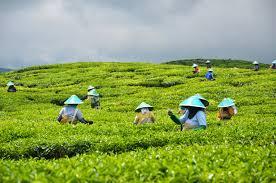 Teh Kayu Aro kayu aro tea kerinci mountain jambi