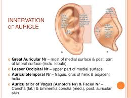 Ear Anatomy Pictures Anatomy Of External Ear And Middle Ear