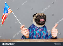 Funny American Flag Shirts Funny Pug Dog Man Hands Checkered Stock Photo 404974687 Shutterstock
