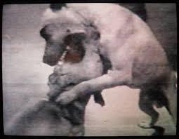 Doberman Pitbul Dövüşü