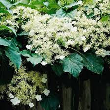 64 best garden flowering vines climbers images on