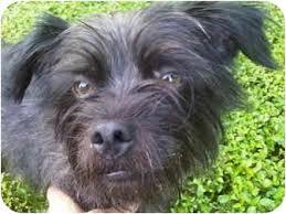 affenpinscher and chihuahua tayshaun prince adopted dog ripley oh affenpinscher