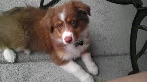 australian shepherd 1 year old my aussie has a thin coat