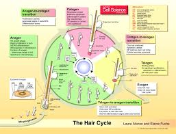 Stem Cells Hair Loss The Hair Cycle Journal Of Cell Science